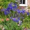 Agapanthus 'Flower of Love' (African lily 'Flower of Love')