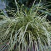 Carex oshimensis 'Evercream' (Sedge 'Evercream')