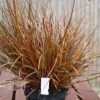 Uncinia rubra (Red hook sedge)