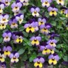 Viola 'Endurio Blue Yellow with Purple Wing' (Endurio Series) (Viola 'Endurio Blue Yellow with Purpl