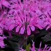 Monarda 'Leading Lady Plum'