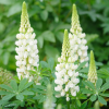 Lupinus 'Noble Maiden' (Band of Nobles Series) (Lupin 'Noble Maiden')