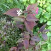 Persicaria microcephala 'Red Dragon' (Knotweed 'Red Dragon')
