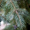 Picea pungens Glauca Group (Colorado spruce Glauca Group)