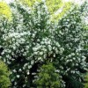 Philadelphus x virginalis  (Virginal mock orange)
