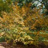 Acer barbinerve (Bearded maple)