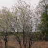 Prunus pensylvanica (Pin cherry)