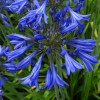 Agapanthus 'Broadleigh Babe' (African lily 'Broadleigh Babe')