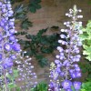 Delphinium 'Black Knight' (Delphinium 'Black Knight')