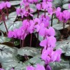 Cyclamen coum 'Cyberia Dark Rose' (Cyberia Series)