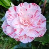 Camellia japonica 'William Bartlett' (Camellia 'William Bartlett')