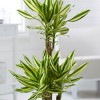 Dracaena fragrans 'Yellow Coast' (Dragon plant 'Yellow Coast')