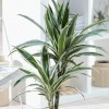 Dracaena fragrans (Deremensis Group) 'Warneckei' (Striped dracaena)