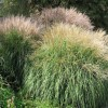 Miscanthus sinensis (any variety)