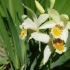 Bletilla striata (any variety) (Hyacinth orchid (any variety))