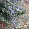 Rosmarinus officinalis (Prostratus Group) 'Whitewater Silver' (Rosemary 'Whitewater Silver')