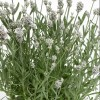 Lavandula angustifolia 'White Scent Early' (English lavender 'White Scent Early')