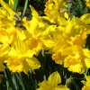 Narcissus 'Golden Harvest' (Daffodil 'Golden Harvest')