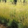 Stipa gigantea 'Goldilocks'