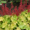 Heuchera 'Appletini' (Dolce Series) (Alum root 'Appletini')