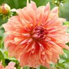 Dahlia 'Belle of Barmera' (Dahlia 'Belle of Barmera')