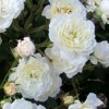 Rosa 'Frothy' (Rose 'Frothy')