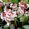 Bergenia 'Fire and Ice'