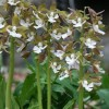 Calanthe discolor (Discolor hardy orchid)