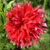 Dahlia 'Hollyhill Clydesdale' (Dahlia 'Hollyhill Clydesdale')