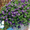 Calibrachoa 'Can-can Double Blue' (Can-can Series) (Mini petunia 'Can-can Double Blue')