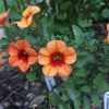 Calibrachoa 'Can-can Coral Reef' (Can-can Series) (Mini petunia 'Can-can Coral Reef')
