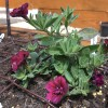 Calibrachoa 'Can-can Double Wine Red' (Can-can Series) (Mini petunia 'Can-can Double Wine Red')