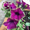 Petunia 'Designer Buzz Purple' (Designer Series) (Petunia 'Designer Buzz Purple')