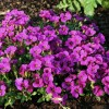 Aubrieta 'Florado Rose Red' (Aubretia 'Florado Rose Red')