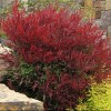 Nandina domestica 'Burgundy Wine' (Heavenly bamboo 'Burgundy Wine')