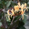 Lonicera japonica 'Purpurea' (Japanese honeysuckle 'Purpurea')