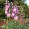 Delphinium 'Lilac Rose with White Bee' (Excalibur Series) (Delphinium 'Lilac Rose with White Bee' )