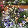 Agapanthus 'Fireworks' (African lily 'Fireworks')