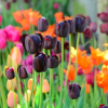 Tulipa 'Queen of Night' (Tulip 'Queen of Night')