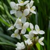 Libertia grandiflora (New Zealand satin flower)
