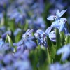 Chionodoxa luciliae  (Glory of the snow)