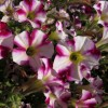 Petunia 'Littletunia Bicolour Illusion' (Littletunia Series) (Petunia 'Littletunia Bicolour Illusion