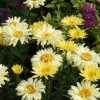 Leucanthemum x superbum 'Goldfinch' (Shasta daisy 'Goldfinch')