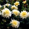 Dahlia 'Ice Cream Beauty' (Dahlia 'Ice Cream Beauty')