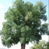 Ulmus procera (English elm)