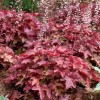 X Heucherella 'Red Rover' (Fun and Game Series) (Foamy bells 'Red Rover')