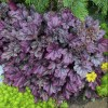Heuchera 'Dolce Blackberry Ice' (Dolce Series) (Alum root 'Dolce Blackberry Ice')
