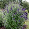 Buddleja davidii 'Blue Horizon'  (Butterfly bush 'Blue Horizon' )