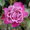 Rosa 'First Great Western' (Rose 'First Great Western')