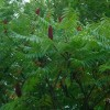 Rhus typhina 'Dissecta' (Cut-leaved stag's horn sumach)